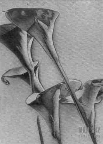 Calla lillies by Man Ray